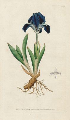 Iris Botanica