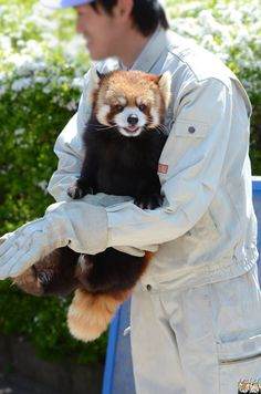 Red panda at Chausuyama Zoo in Nagano Prefecture, Japan. Cute Baby Animals, Animals And Pets, Red Panda Cute, Mon Zoo, Cute Hedgehog, Paws And Claws, Animal 2, Cute Animal Pictures, Panda Bear