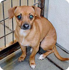San Jacinto, CA - Chihuahua. Meet Chi, a dog for adoption. http://www.adoptapet.com/pet/13016613-san-jacinto-california-chihuahua