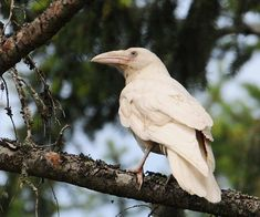 Not an albino raven, it is just a white raven - #80567840 added by bobebob at albino raven