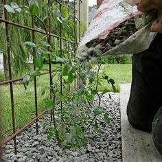 Slik lager du et blomstrende gjerde - Garden Types, Garden Paths, Garden Art, Garden Design, Home And Garden, Porch Garden, Garden Trellis, Terrace Garden, Garage Pergola