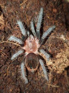 """Aufgepasst: Namensänderung! #Brachypelma splittet sich auf und einige Tiere heissen neu #TLILTOCATL ! Dies betrifft folgende Arten: T. albopilosum, T. epicureanum, T. kahlenbergi, T. sabulosum, T. schroederi (Bild) T.  vagans T. verdezi. Der neue Name ist eine Kombination aus dem Wort """"Tlil"""" für """"Schwarz"""" und """"Tocatl"""" für """"Spinne"""" in der indigenen Sprache Nahuatl aus Mexiko. Tiere, welche schwarze Beine und rötliche Haare ausschliesslich(!) am Körper aufweisen, gehören nun zu dieser Gattung. Reptile Pet Store, Tropical Aquarium, Travel Companies, Horseback Riding, Animal Shelter, Pet Supplies, Pets, Animals, Reddish Hair"""