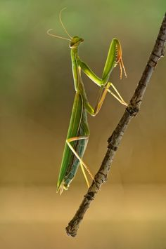 ~ Praying Mantis . . .  ~  little alien !