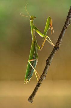 ~ Praying Mantis . . .  ~  little alien !