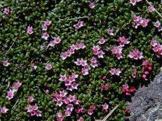 Kalmia procumbens - Alpine Azalea