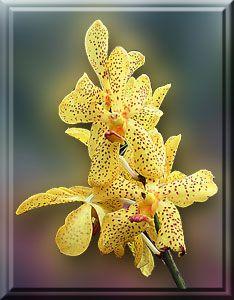 Orchid in a Philippine garden