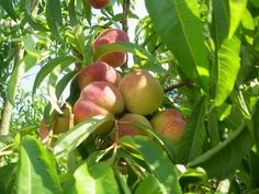 Peaches ripening in our garden in Chambilly 71110 in Burgundy