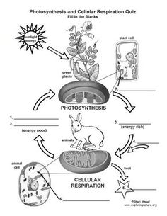 Great diagram for teaching photosynthesis and respiration has a learn more about cellular respiration on exploringnature ccuart Choice Image
