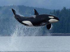 Jumping Orca! wooohoooo!!!