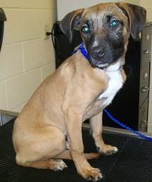 Summer is an 8 month old Shepherd mix pup. She is super sweet and is in need of a more permanent home where she can play. ID: 22017064