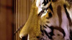El tigre siberiano llamado Rasputín mira por las rejas después de haber matado a su cuidador en un zoológico de Muenster - AFP