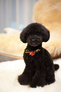 #haircut #toypoodle #blackpoodle #bluepoodle ♥