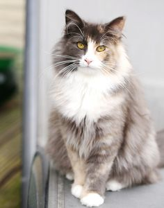 I have never seen a photograph of this breed of cat before until today!  It's a Norwegian Forest Cat.