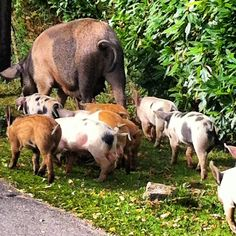 It's pannage season (September-October) in the New Forest when pigs roam free hoovering up acorns which are poisonous to forest ponies and cattle. This picture was taken at Bank just west of Lyndhurst at the heart of the forest.