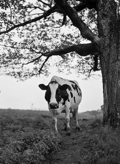 Spy Cow