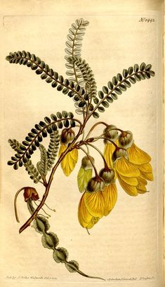 Edwardsia Microphylla (Small-leaved Edwardsia) - (1811-1812) - Curtis's botanical magazine