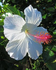 hibiscus and ruthless dance scene Hawaiin Flowers, Hibiscus Flowers, Exotic Flowers, Tropical Flowers, White Flowers, Beautiful Flowers, White Hibiscus, Bloom, Morning Flowers