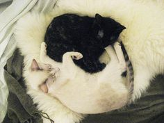 New Sheepskin Rug | Ryan got the kitties a sheepskin rug for ... Click Here For More Australian Sheep Skin|There Are Many Colours And Sizes For Australian Sheep Skins|See More Uses For Australian Lambskins|Click Here For More Australian Lambskins|