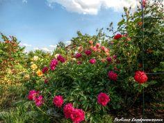 Rosenmeer  Roses