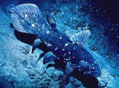 Coelacanth. Have loved these since I heard of their rediscovery years ago. They are even in Animal Crossing.