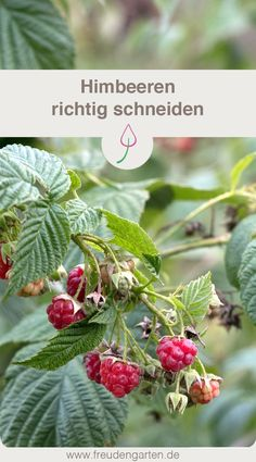 Himbeeren schneiden Cutting raspberries is important to harvest many fruits in the garden. Create A Person, Homemade Wedding Favors, Personalized Valentine's Day Gifts, Homemade Deodorant, Wedding Frames, Garden Boxes, Plant Care, Plexus Products, Indoor Plants