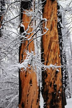 'Twins' by Donald Sewell on Capture Inland Northwest // Burned but beauty revealed in the wood below as these trees await the salvage operations in the Kaniksu Complex fire region near Usk, WA. Print ID Twins, Thankful, Fire, Wood, Beauty, Woodwind Instrument, Trees, Home Decor Trees, Twin