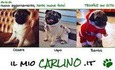 Scopri la più grande raccolta di foto Carline!! www.ilmiocarlino.it/foto_album.htm  Invia le foto del TUO Carlino: www.ilmiocarlino.it/invia-foto.htm  #carlino #fotografia #animali #divertimento #cuccioli #carlini