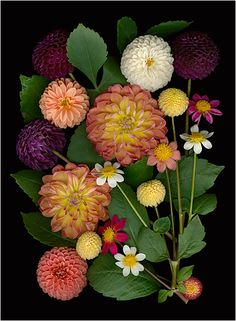 Prise Winning Dahlias - Multicolored Bouquets and Floral Collections - Scanner Photography By Ellen Hoverkamp