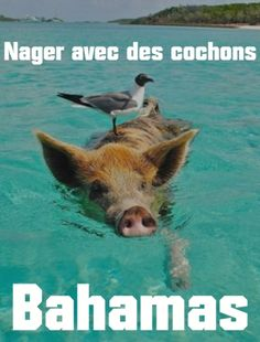Pig Beach is an Island in the Bahamas that is inhabited only by swimming pigs! Pig Beach Bahamas, Les Bahamas, Bahamas Island, Exuma Bahamas, Beach Bum, Pig Island, Swimming Pigs, Beach Please, Vand