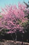 Redbud Tree Information & Care Tips from TreeHelp -- Insects and disease