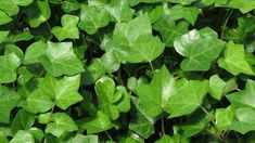 30 Ground Cover English Ivy Starts *Spring is Here* Hurry, It is Time to Plant! Ivy Plants, Indoor Plants, Indoor Gardening, Common House Plants, Get Rid Of Mold, Remove Mold, Evergreen Vines, House Plants Decor, Bedroom Plants