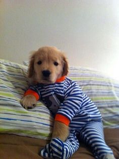 a golden retriever pup in pajamas = cutest thing ever