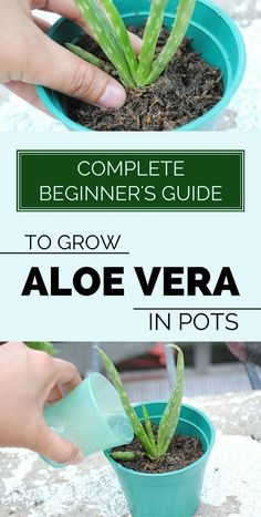 Having an Aloe Vera plant in your home is recommended, especially if you want to purify the air in the house or to use it in curative remedies. Here's what you need to know about Aloe Vera to be sure Mini Terrarium, Aloe Plant Care, Container Gardening, Gardening Tips, Best Nutrition Food, Sports Nutrition, Nutrition Websites, Protein Nutrition, Nutrition Data