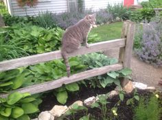 Ny kitty Jax loves the yard and is great at keeping moles an voles at bay!