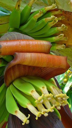 My Garden - Banana Tree in Cuernavaca by armando cuéllar, via Unusual Flowers, Rare Flowers, Flowers Nature, Tropical Garden, Tropical Flowers, Tropical Plants, Banana Blossom, Banana Flower, Beautiful Fruits