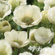 【楽天市場】■秋植え球根■ アネモネ デカン ホワイト10球入り:ペットエコ&ザガーデン楽天市場店