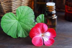 Geranium Essential Oil: Benefits, Uses and How to Make It Clary Sage Essential Oil, Citrus Essential Oil, Geranium Essential Oil, Tea Tree Essential Oil, Best Essential Oils, Essential Oils For Massage, Essential Oils For Headaches, Oils For Migraines, Coconut Oil For Teeth