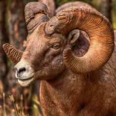 ~~Battle Ram | Kootenay National Park\Radium, British Columbia, Canada | by JamesA1~~