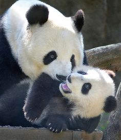 Stop it, mom! by Stinkersmell on Flickr.  Panda bear cub Xiao Liwu gets some unwanted attention from his mother Bai Yun at the San Diego Zoo