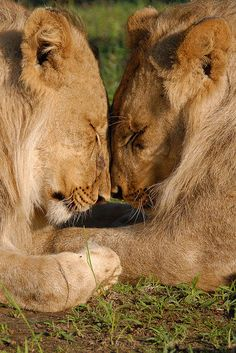 amazing shot: how lions concentrate in love ; )  (via edie1@imgfave 3759199)
