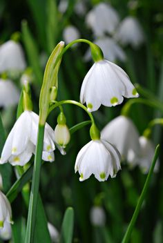 I love snowdrops! Brave little beauties that come up through the snow in late winter/early spring.