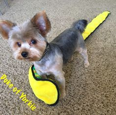 Duke of Yorkie - 6ft snake playmate