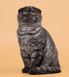 Get to Know the Scottish Fold: An Owl In a Cat Suit | Catster