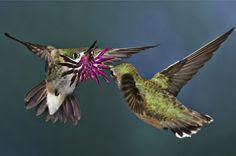 Humming bird flirting...