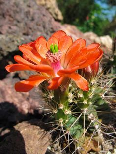 Echinocereus coccineus (Scarlet Hedgehog Cactus) is a species of hedgehog cactus, usually clumping, it forms large colonies of up to...