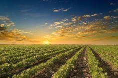 ¿Cómo afecta la pérdida de la patente de Monsanto al futuro de los OGM?