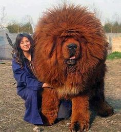 http://dogtime.com/dog-breeds/tibetan-mastiff This is a gorgeous dog but I would not want to be its pooper scooper for sure. One sold recently for 1.9 million in New York. He probably can afford to hire someone to clean after it.