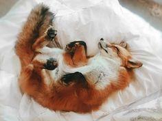 Cute Baby Animals, Animals And Pets, Funny Animals, Wild Animals, Beautiful Creatures, Animals Beautiful, Domestic Fox, Happy Fox, Photo Animaliere
