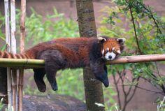 Red panda, hanging out at Columbus Zoo And Aquarium in OH.