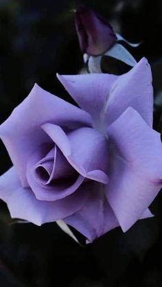 Purple Flower Bouquet, Beautiful Bouquet Of Flowers, Dark Flowers, Happy Flowers, Romantic Flowers, Tulips Flowers, Blooming Flowers, Purple Roses, Beautiful Roses